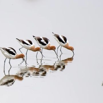 Photo: American avocets reflect upon themselves
