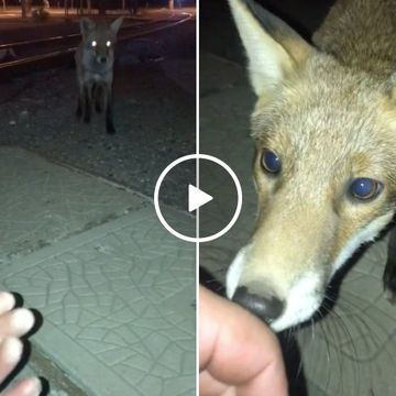 Man shares a beautiful moment with wild Fox (Video)