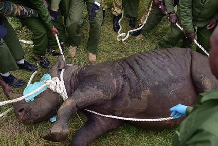 8 Critically Endangered Black Rhinos Die in Kenya