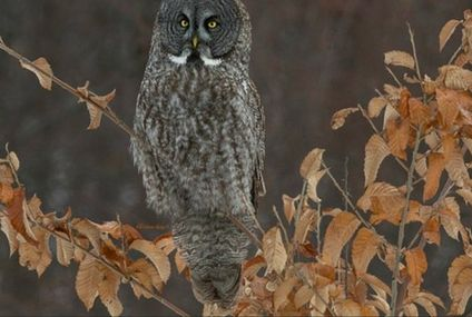 Photo: Great Gray Owl is a tall ball of feathers