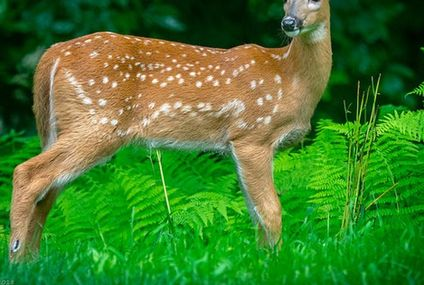 Photo: Sweet fawn spotted in the ferns