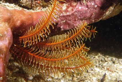Photo: Hidden feather star extends arms seeking food