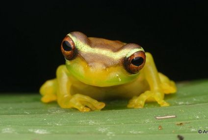 Photo: Young slender legged treefrog is ready for its close-up