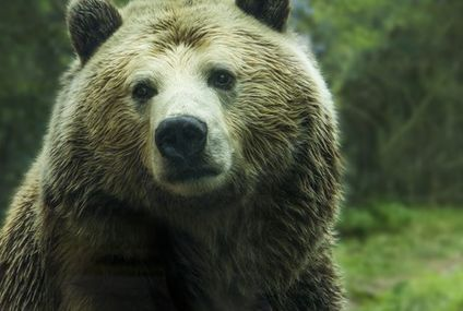 Hunter hospitalized after shot bear tumbles down on him