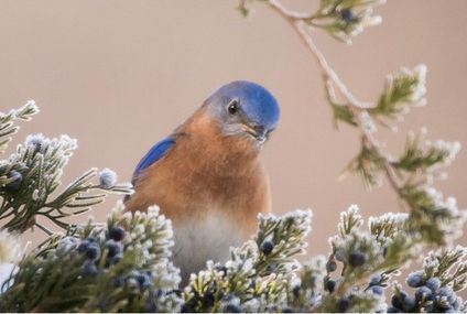 Photo: The sweet gaze of an Eastern bluebird