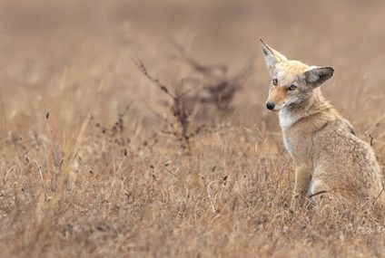 Photo: Coyote practices its puppy dog eyes