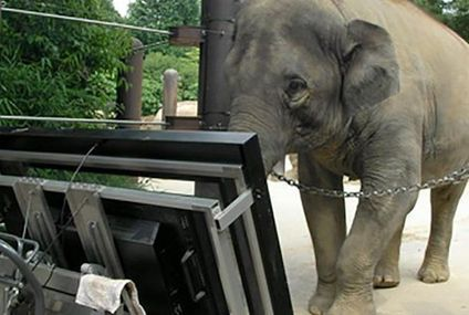 Researchers teach elephant to use computer, then prove she can count