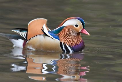 A Mandarin Duck Mysteriously Appears in Central Park, to Birders' Delight