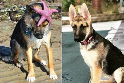 Did someone say German Shepherd? I'm all ears (36 photos)