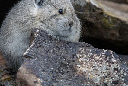 Photo: American pika is so very round
