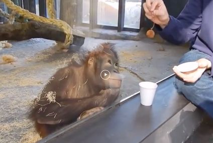 This orangutan's reaction to a magic trick will make you smile (video)