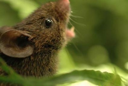 Meet the singing mice of the cloud forests (videos)