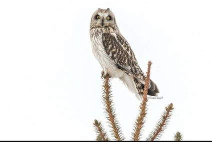 Photo: Short-eared owl has personality to spare