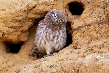 8 wonderfully weird facts about burrowing owls