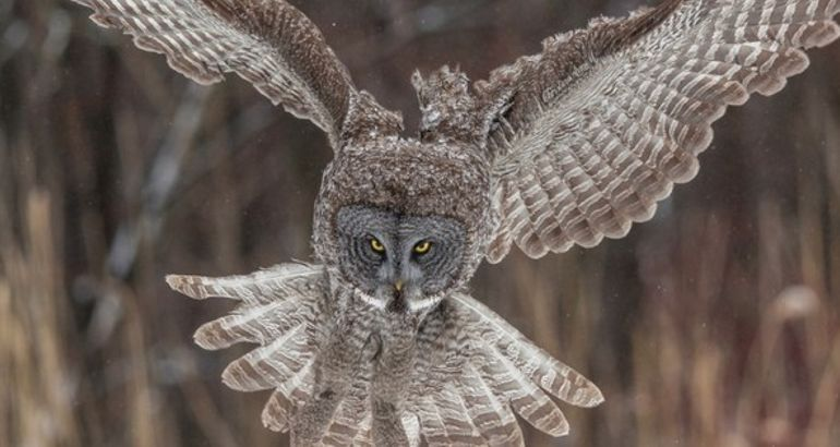 Photo: Great gray owl is a majesty of feathers
