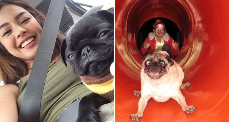 Pug check (34 photos)