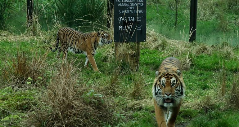 Could a Tiger Tragedy Have Been Avoided?